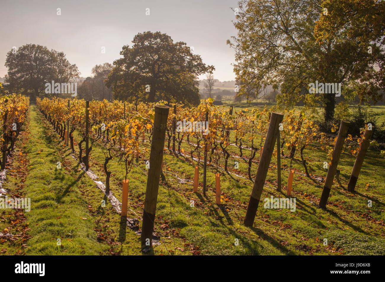 Vineyard, Chapel Down Winery, near Tenterden, Kent, England, United Kingdom, Europe - Stock Image