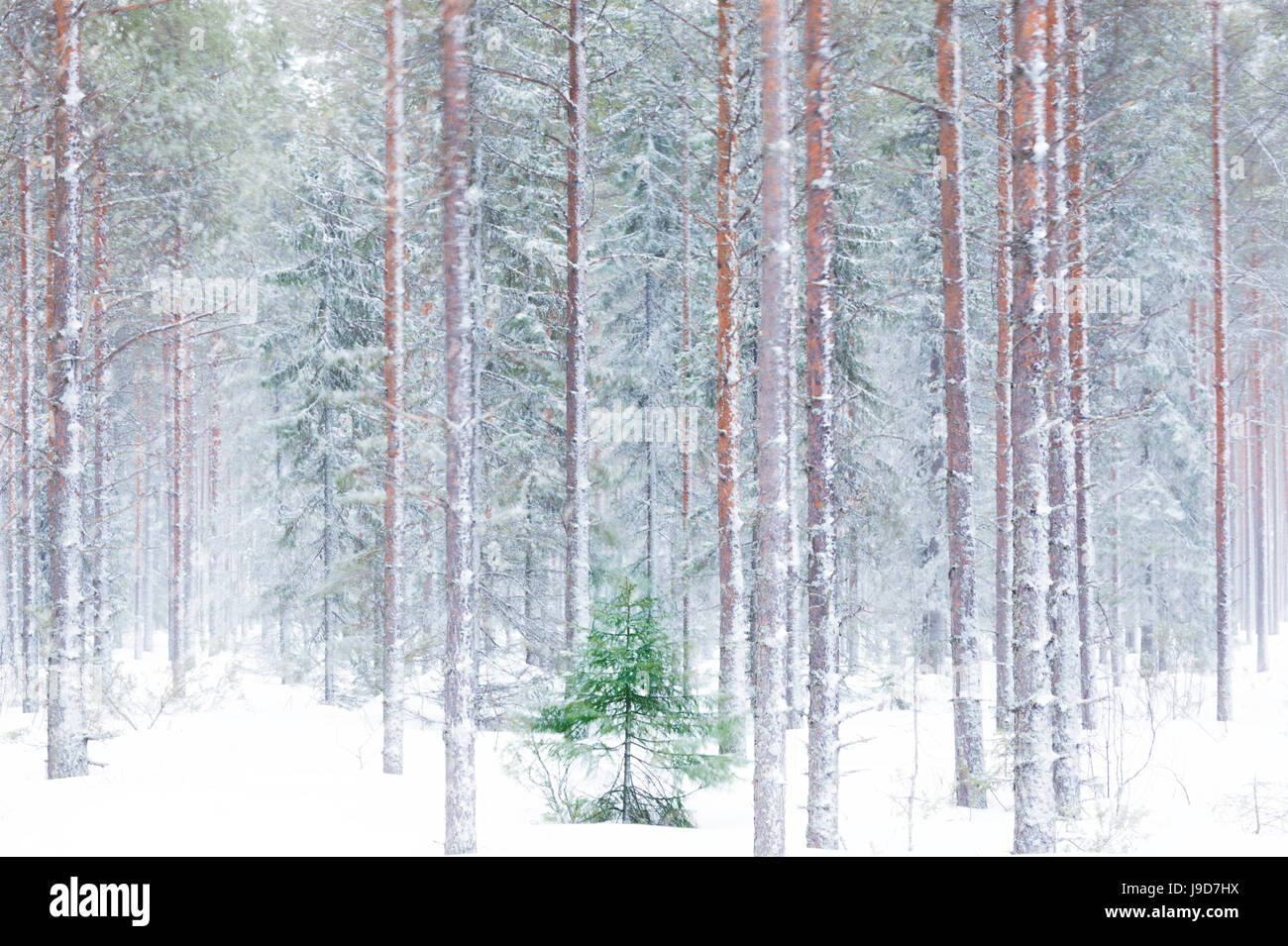 Tall trees in the snowy woods shrouded in the morning mist, Alaniemi, Rovaniemi, Lapland region, Finland, Europe - Stock Image