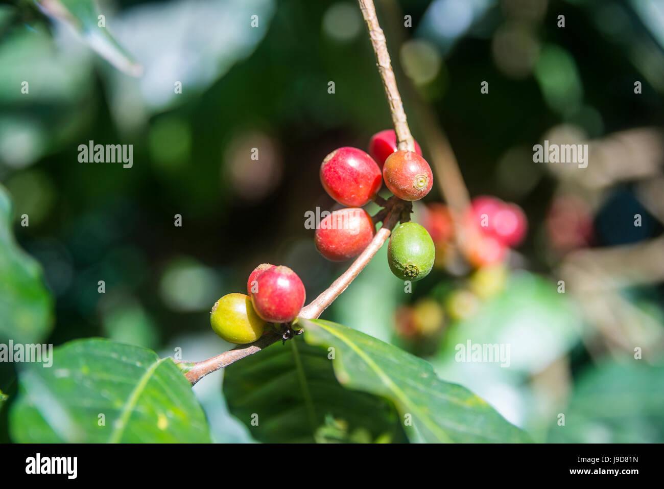 Coffee plants, Coffea arabica, Aileu, East Timor, Southeast Asia, Asia - Stock Image