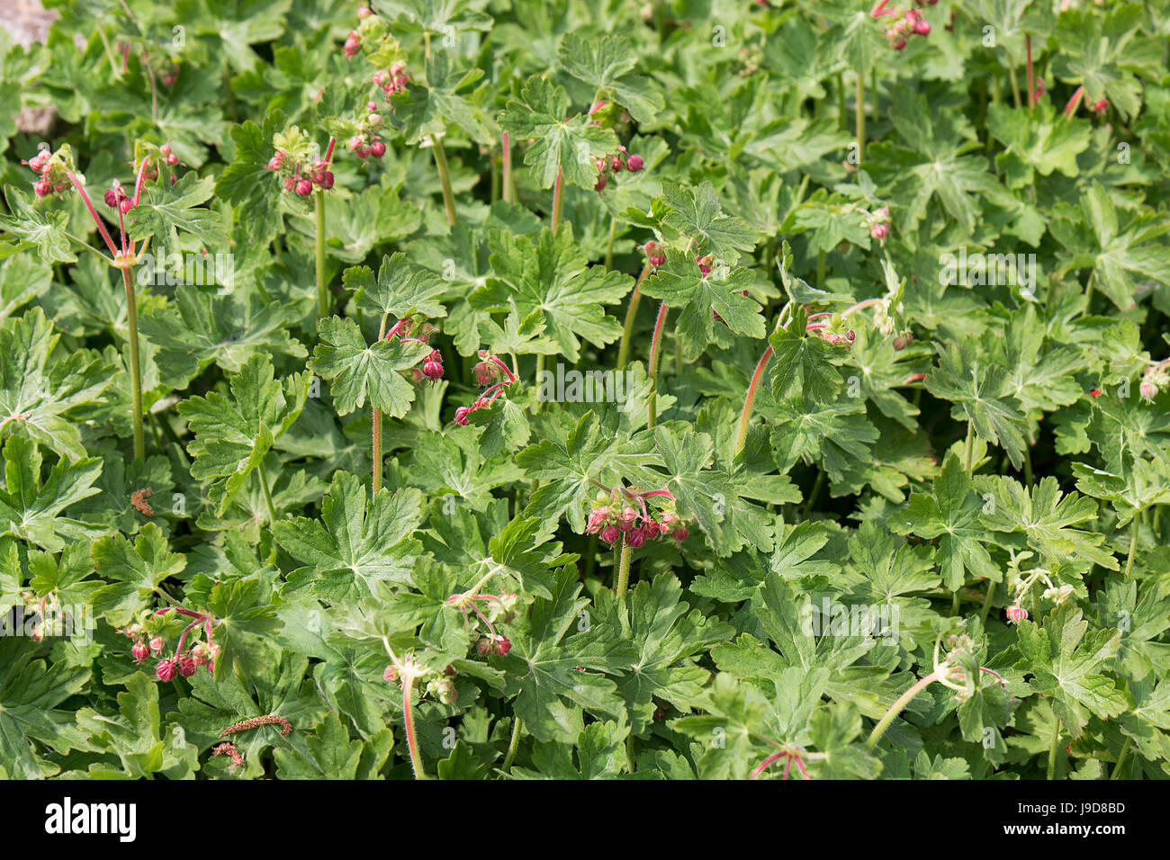 Rock Cranes-Bill, Hardy Geranium, Wild Geranium 'Czakor' (Geranium macrorrhizum), bigroot - Stock Image