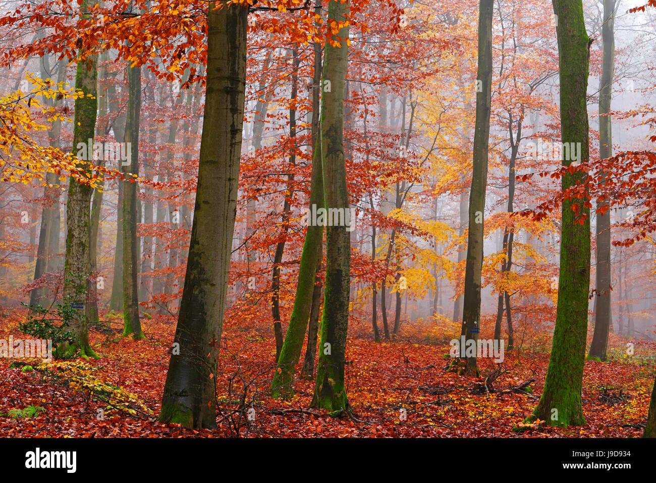 Autumnal forest, Kastel-Staadt, Rhineland-Palatinate (Rheinland-Pfalz), Germany, Europe - Stock Image