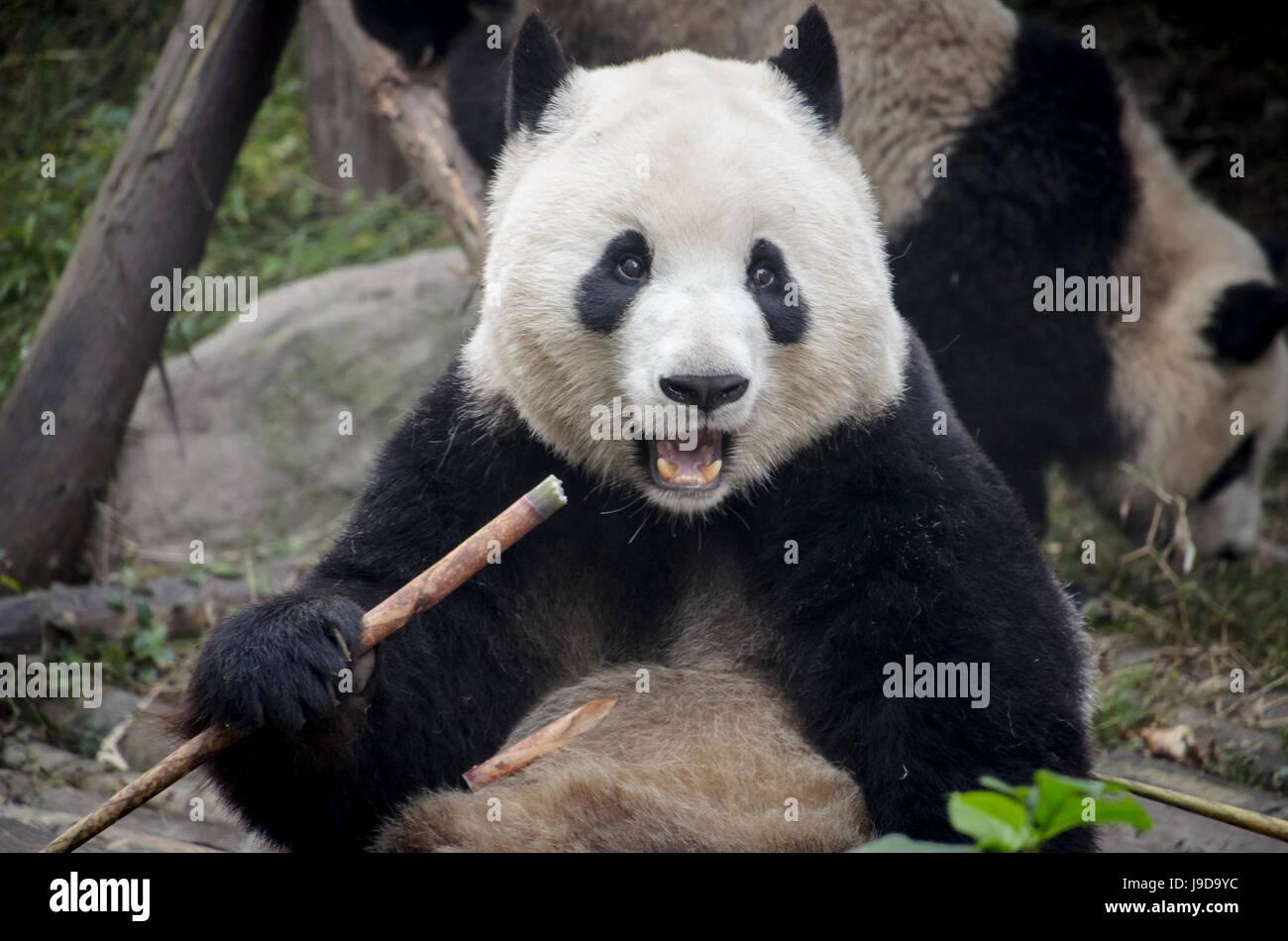Chengdu Research Base of Giant Panda Breeding, Chengdu, Sichuan Province, China, Asia - Stock Image