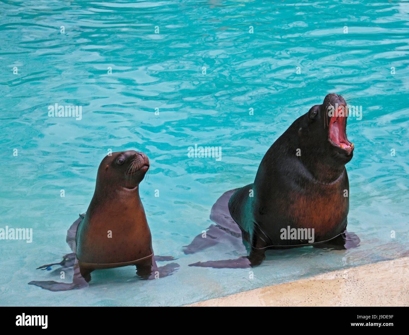 crawl, sea lion, animal, mammal, brown, brownish, brunette, hunter, location Stock Photo