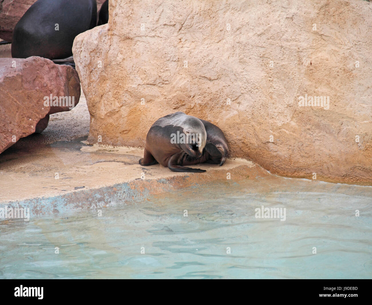 crawl, sea lion, animal, mammal, brown, brownish, brunette, hunter, location Stock Photo