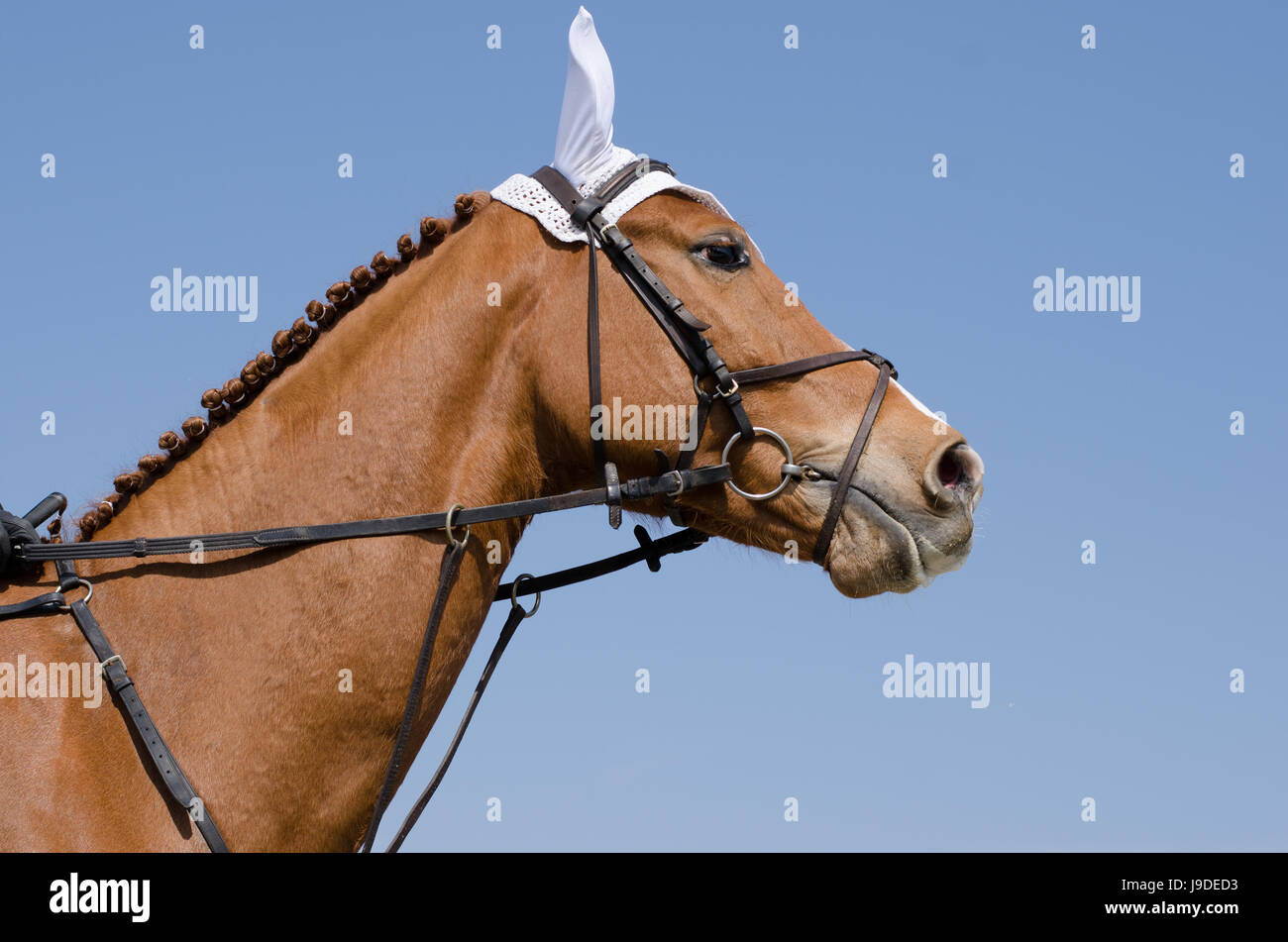 Head-shot of a show jumper horse during training with unidentified rider Stock Photo