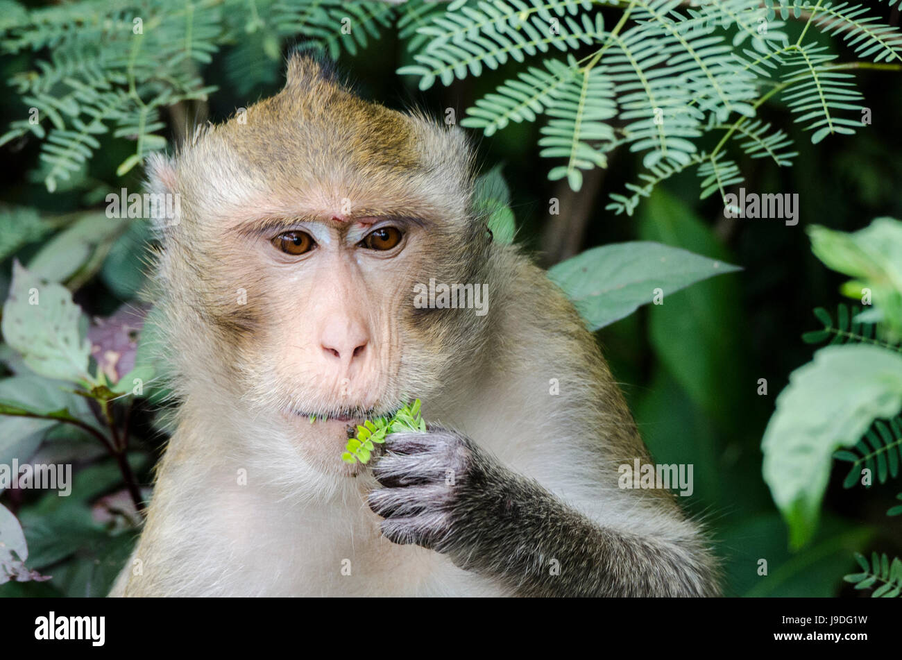 A lone adult crab-eating macaque (Macaca fascicularis) or long-tailed macaque feeding in the local park near villages - Stock Image