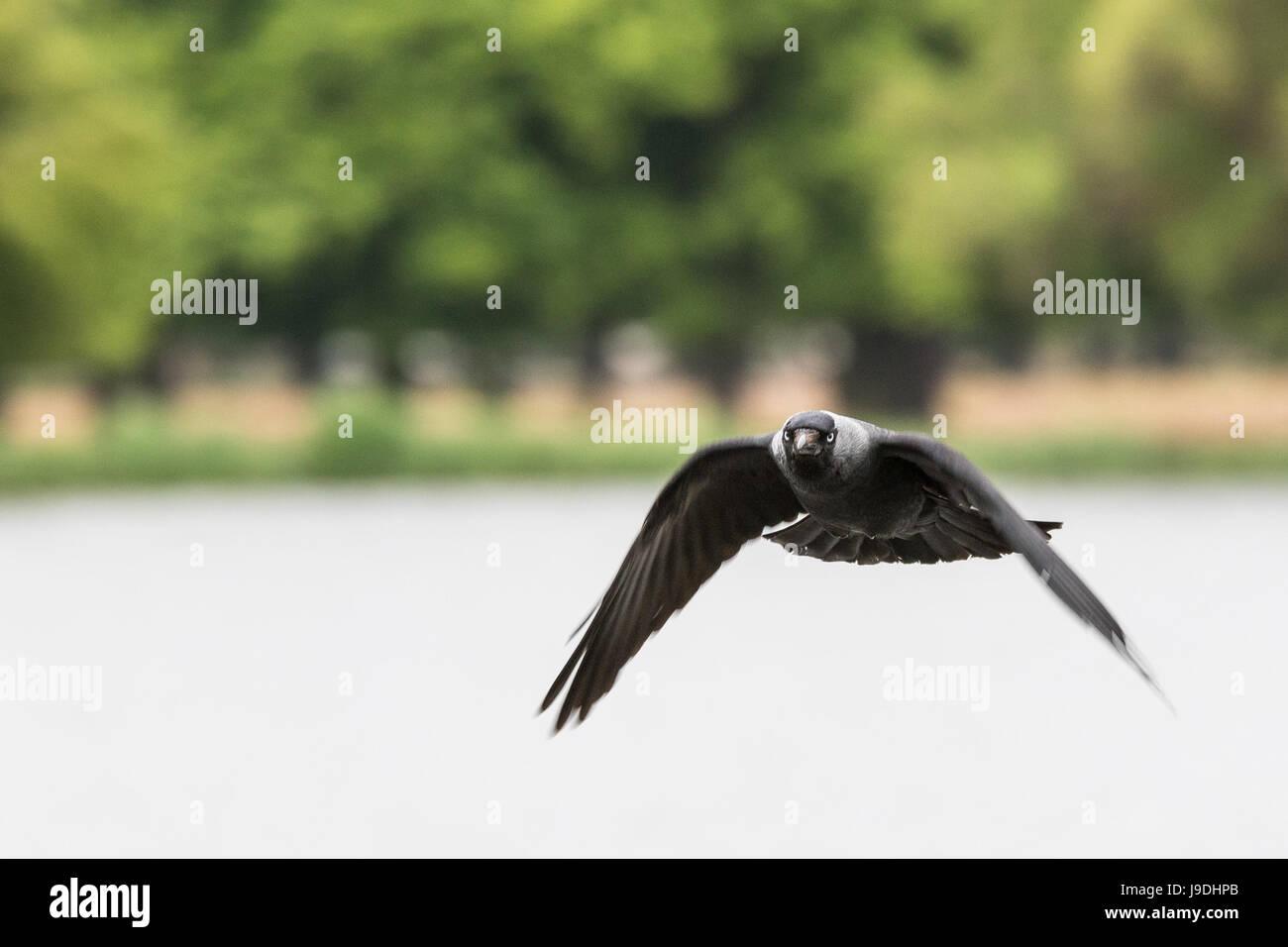 Jackdaw in flight - Stock Image