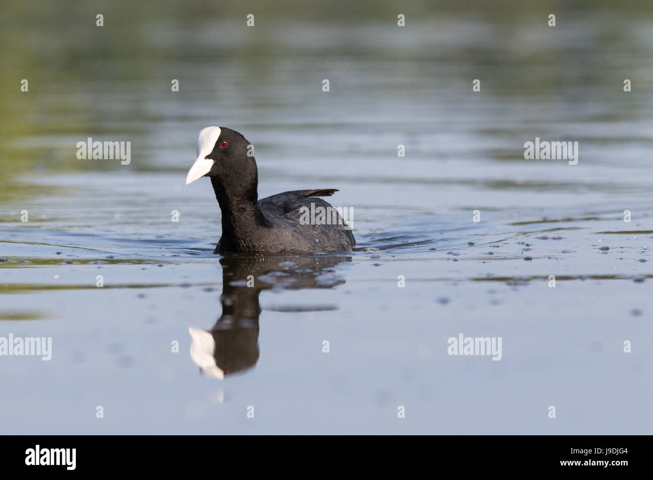 Coot looking angry - Stock Image