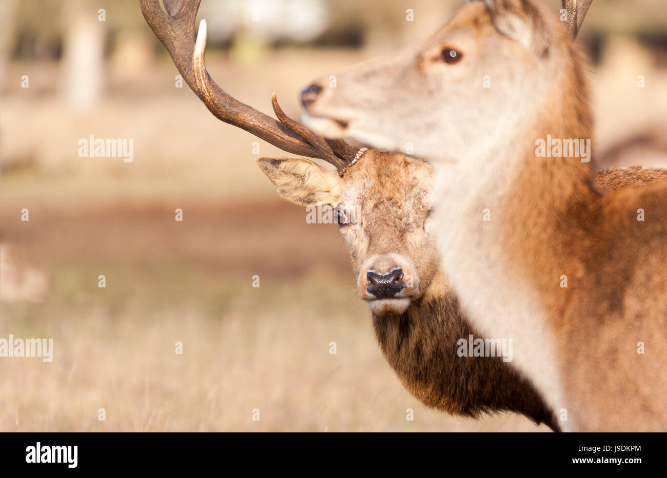 red deer Stag and doe - Stock Image