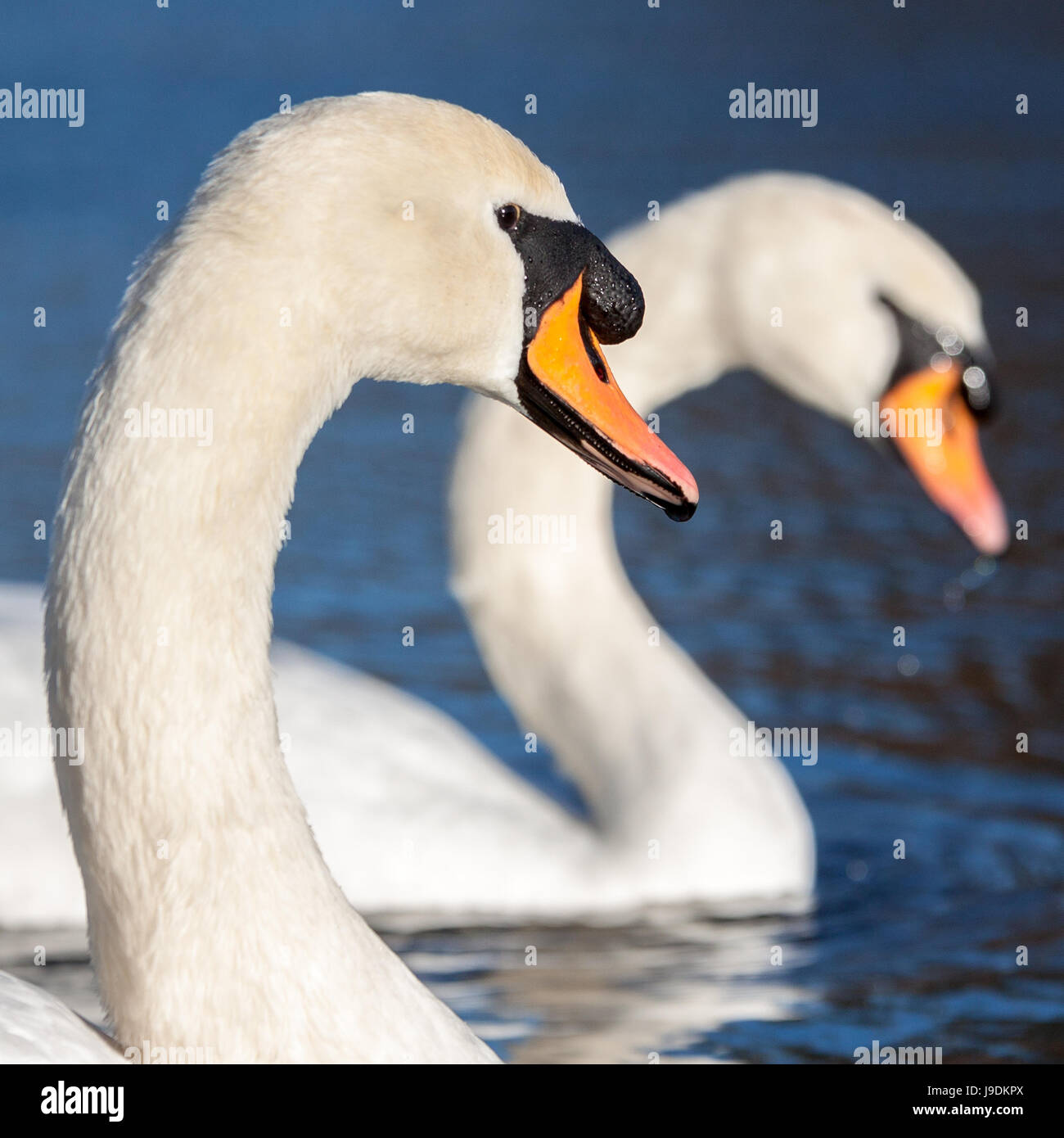 Two adult mute swans - Stock Image