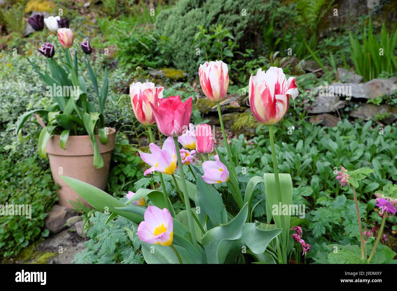 Tulips Bulbs Growing In Terracotta Pot Standing In A Rock Garden Rockery In  April In Rural Wales UK KATHY DEWITT