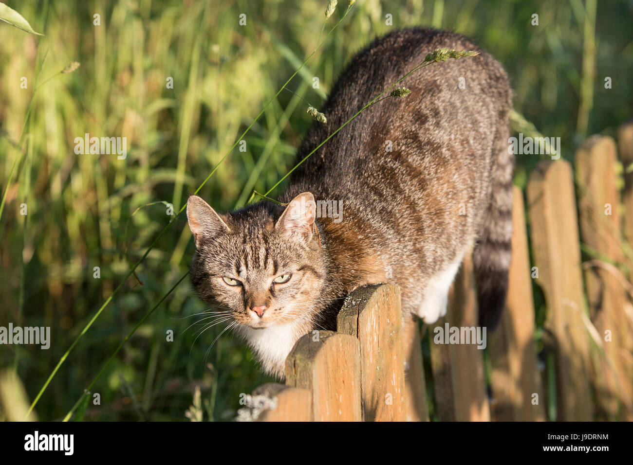 A cat walking on a fence, summer golden hour light, polish coutryside, pure joy and nature, real contact with animals during holidays. Stock Photo