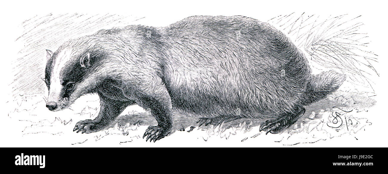 badger, historical, animal, antique, black, swarthy, jetblack, deep black, fur, - Stock Image