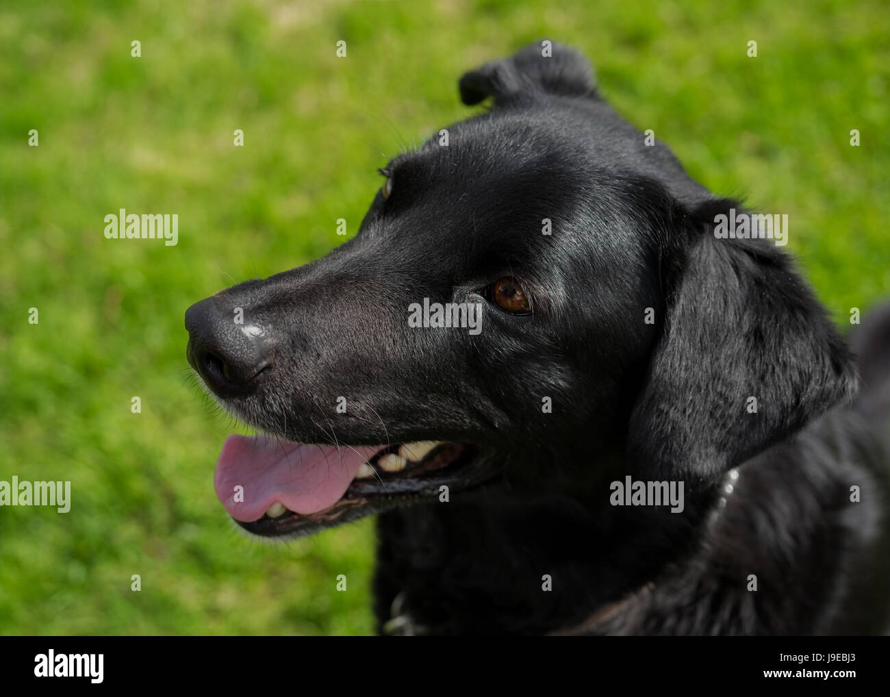 Young black lab or mixed breed dog. Stock Photo