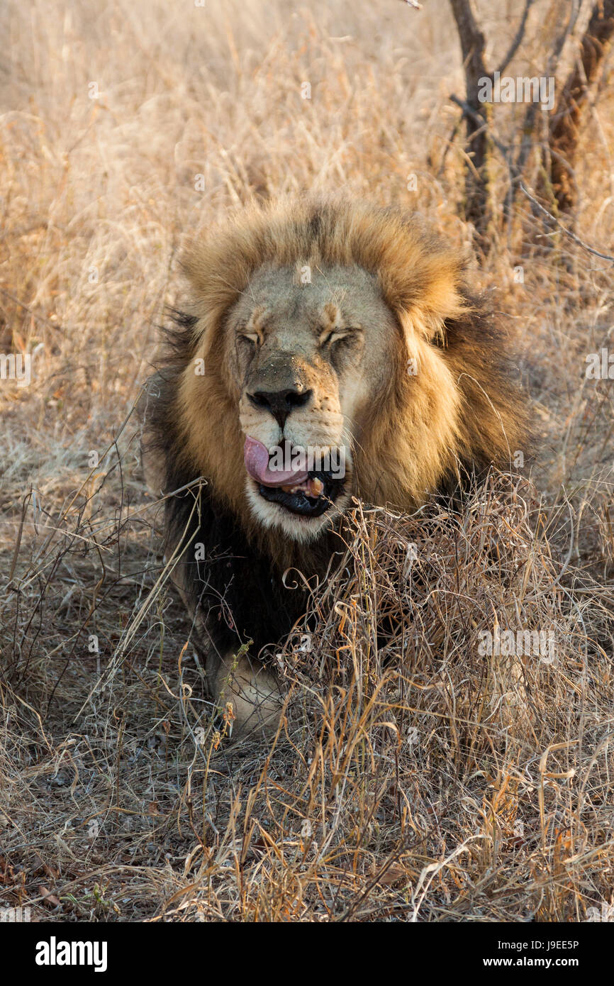 animal, wild, africa, lion, cat, big cat, feline predator, predator, vertical, Stock Photo