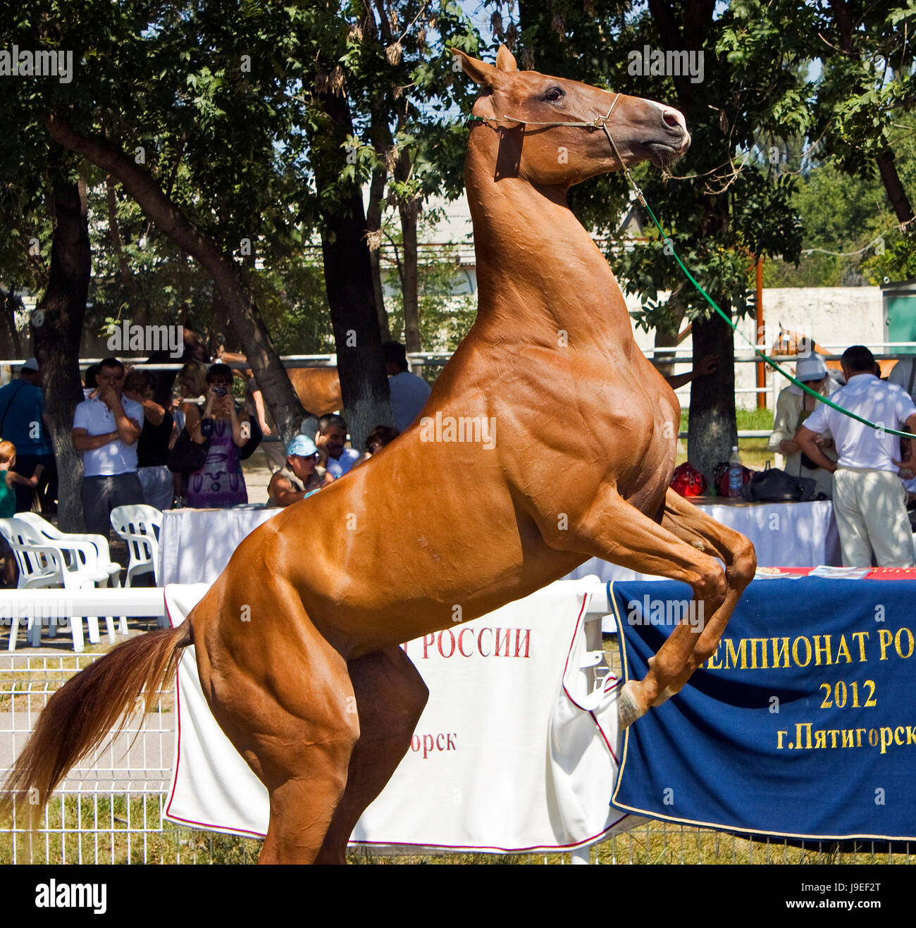 PYATIGORSK, RUSSIA - August 25 2012:18 international rally racing Akhal-Teke horses.The event was attended by representatives Stock Photo