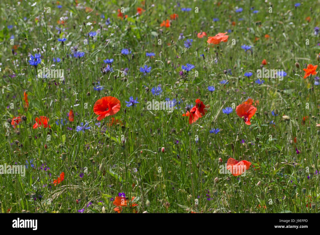 Blumenwiese, Wildblumen, artenreiche Blütenwiese, Wildblumen-Wiese, Wildkräuter-Wiese, Wildkräuter, - Stock Image