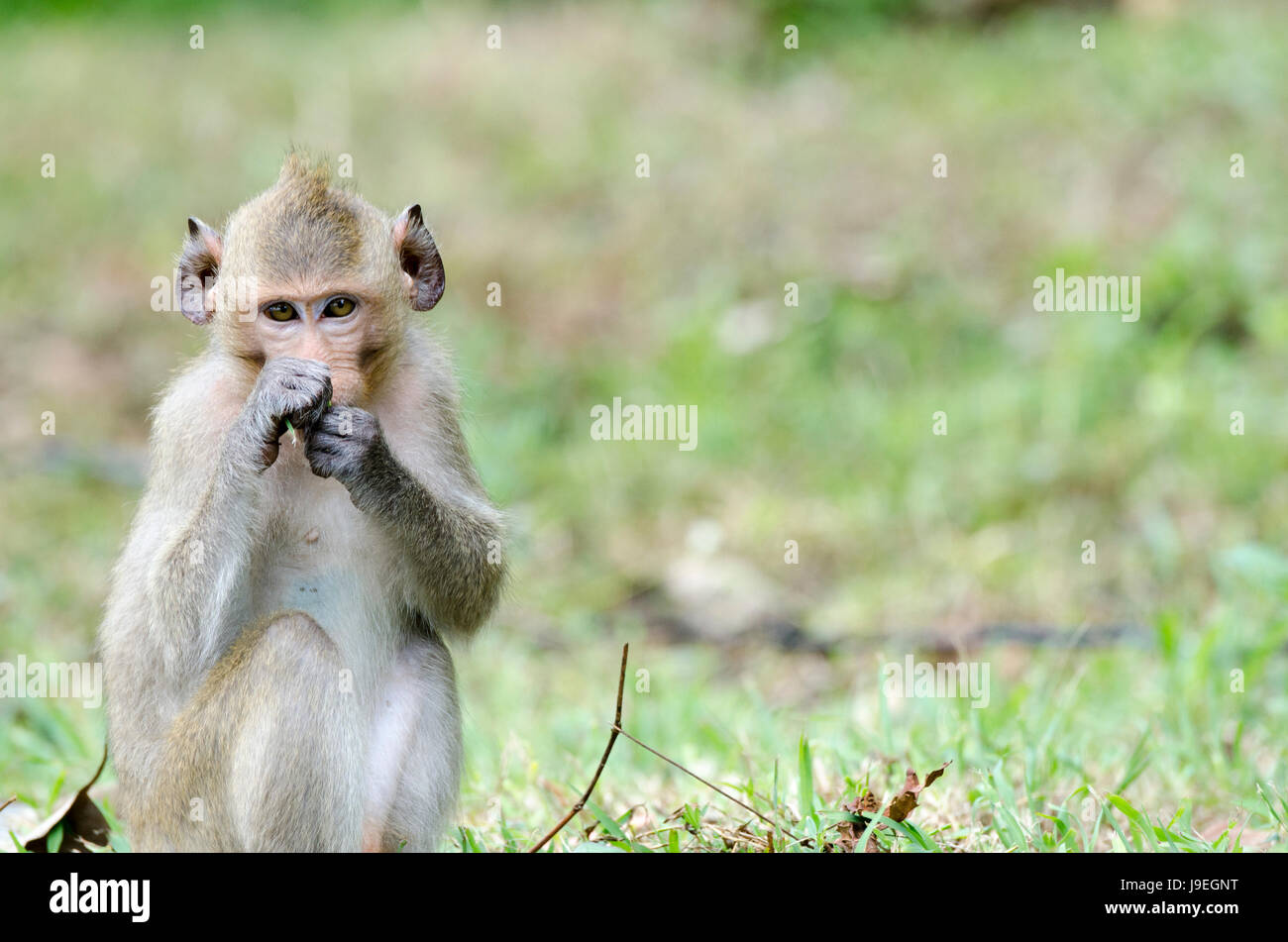 Crab-eating macaque (Macaca fascicularis) or long-tailed macaque animal looking straight into camera while feeding - Stock Image