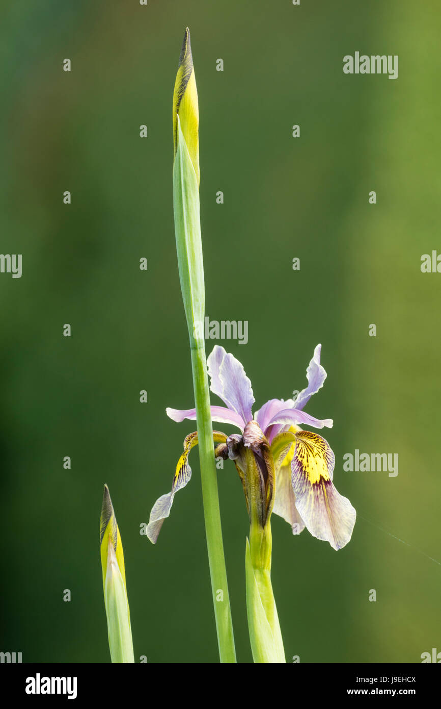 Flower and buds of an open pollinated Iris forestii hybrid against a green background - Stock Image