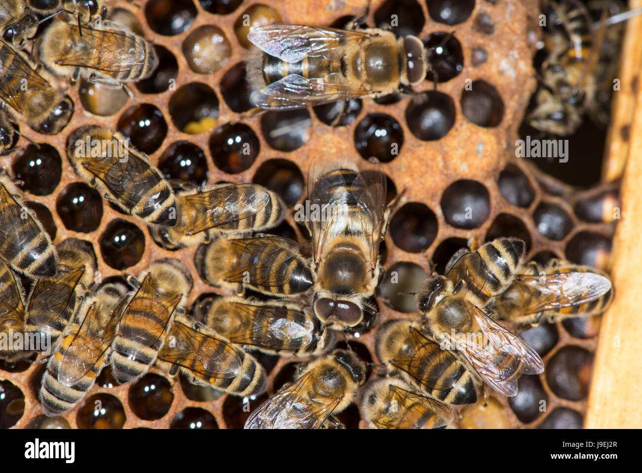 Honey Bee Colony Showing Female Worker Bees And Drones On