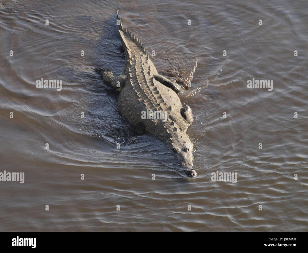 reptile, crocodile, saurian, reptiles, alligator, dangerous, reptile, wild, - Stock Image