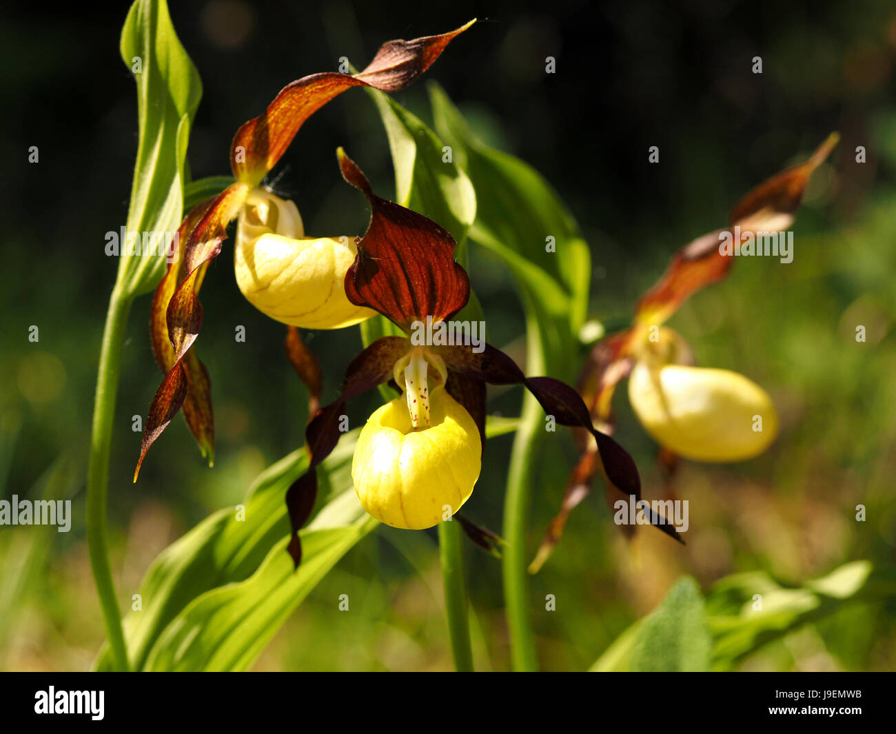 Lady's Slipper Orchids (Cypripedium calceolus) a recently endangered UK species making a notable recovery in - Stock Image