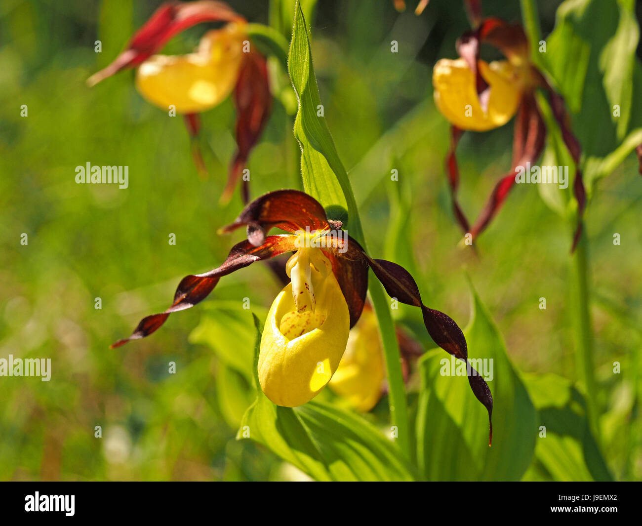 Lady's Slipper Orchid (Cypripedium calceolus) a recently endangered UK species making a notable recovery in - Stock Image