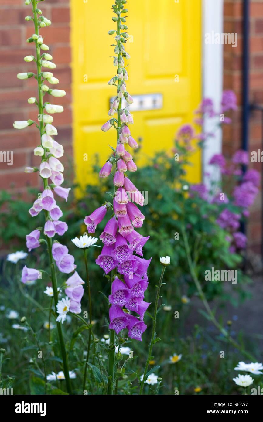 Digitalis purpurea in front of a yellow front door. - Stock Image