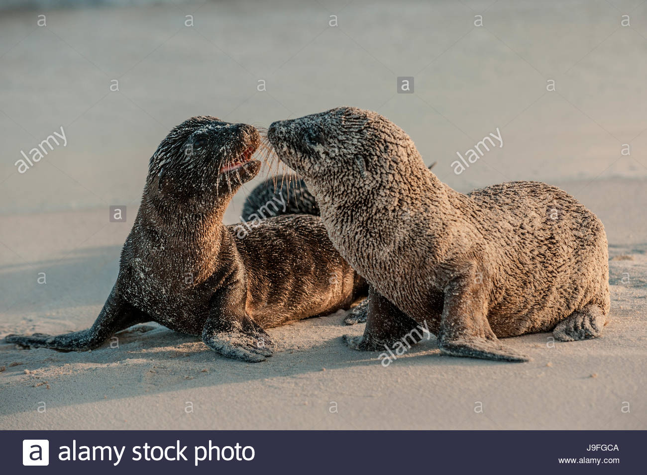 Sea lion pups on Espanola Island in the Galapagos. - Stock Image