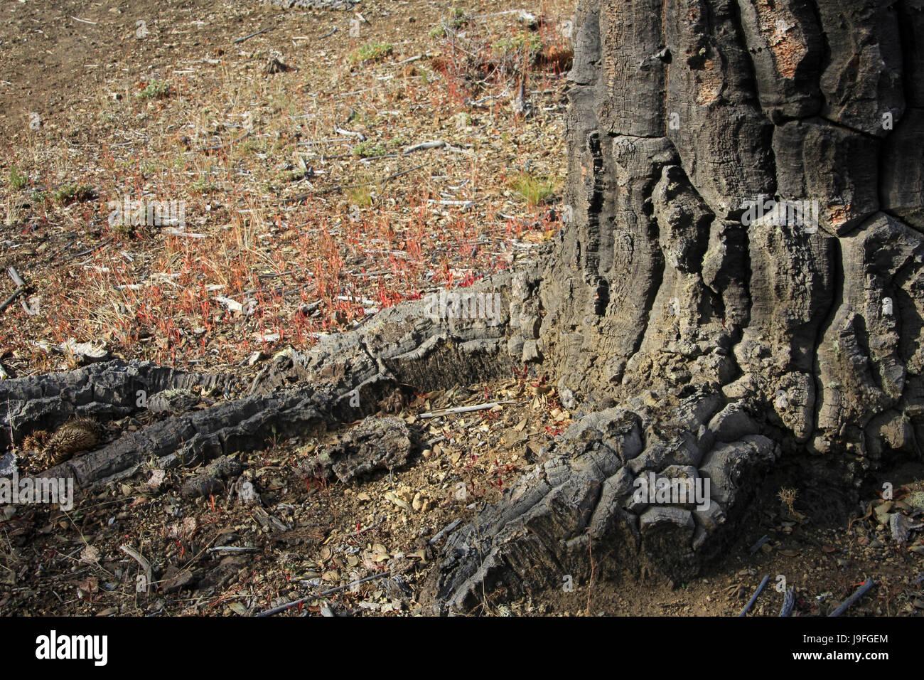 Araucaria, Monkey Puzzle Trees, forest near lake Alumine, Patagonia Argentina Stock Photo