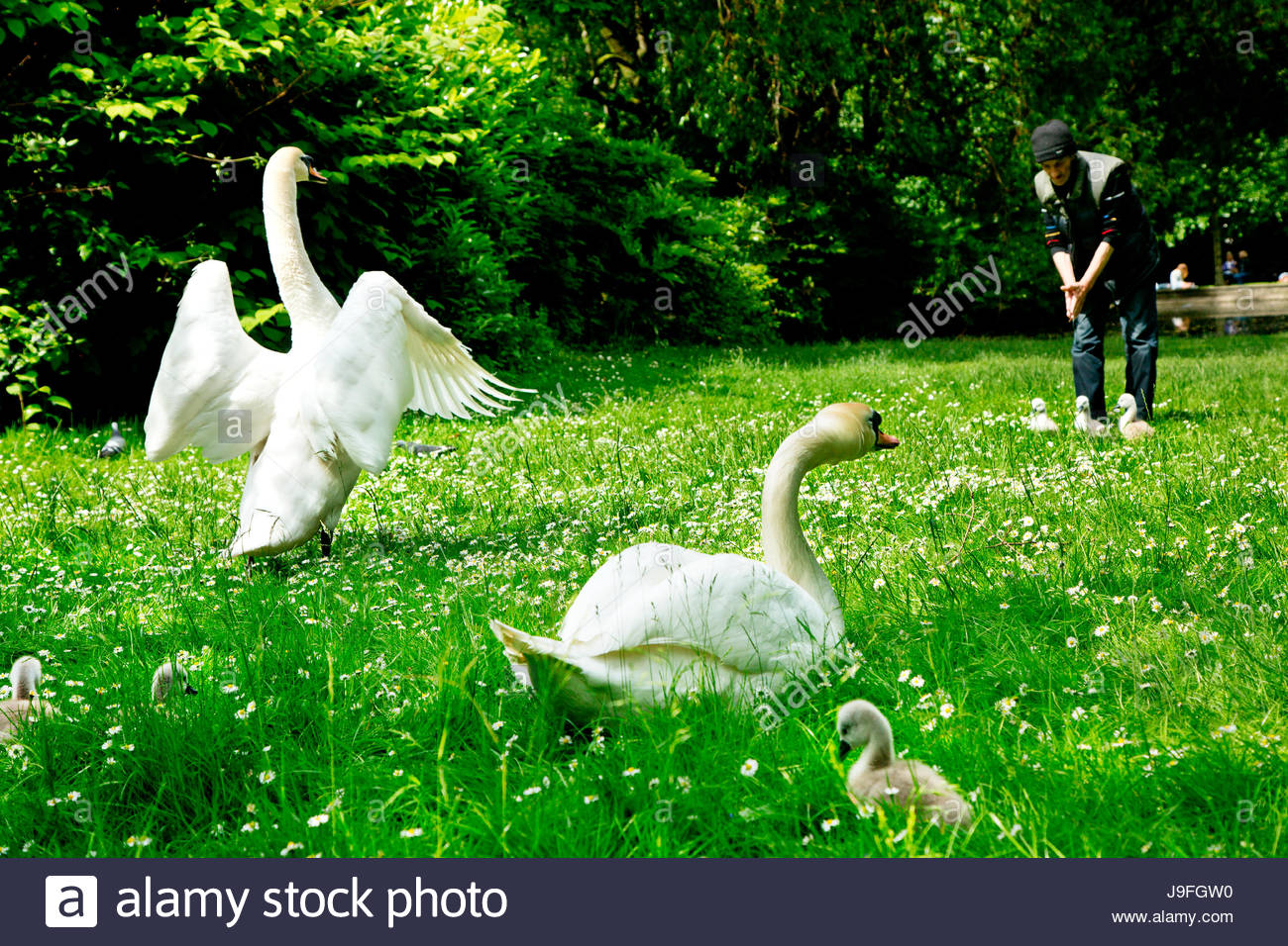 At Saint Stephen's Green Christopher Thompson has been looking after the swans for over ten years. - Stock Image
