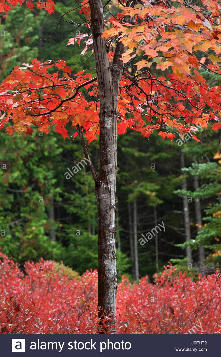 Autumn foliage in Mount Desert Island's Thuya Garden. - Stock Image