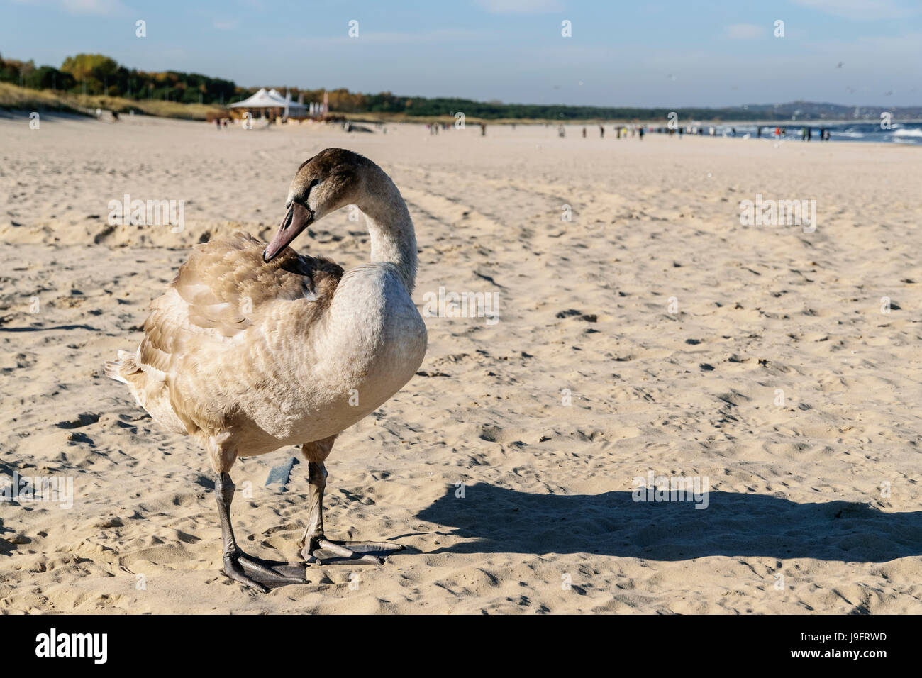 Swan on the beach, Baltic Sea, Swinoujscie, Poland Stock Photo