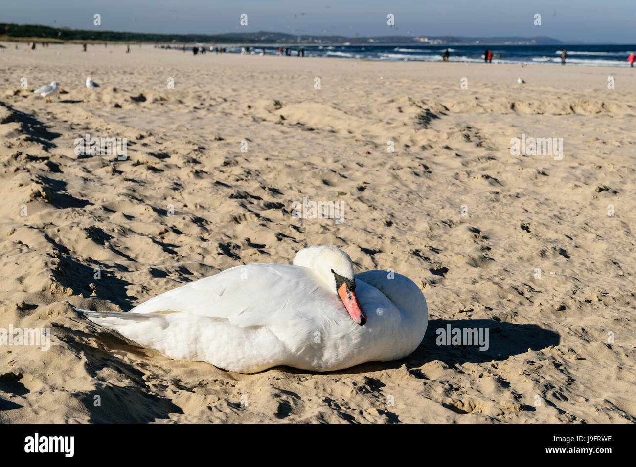 Swan on the beach, Baltic Sea, Swinoujscie, Poland Stock Photo