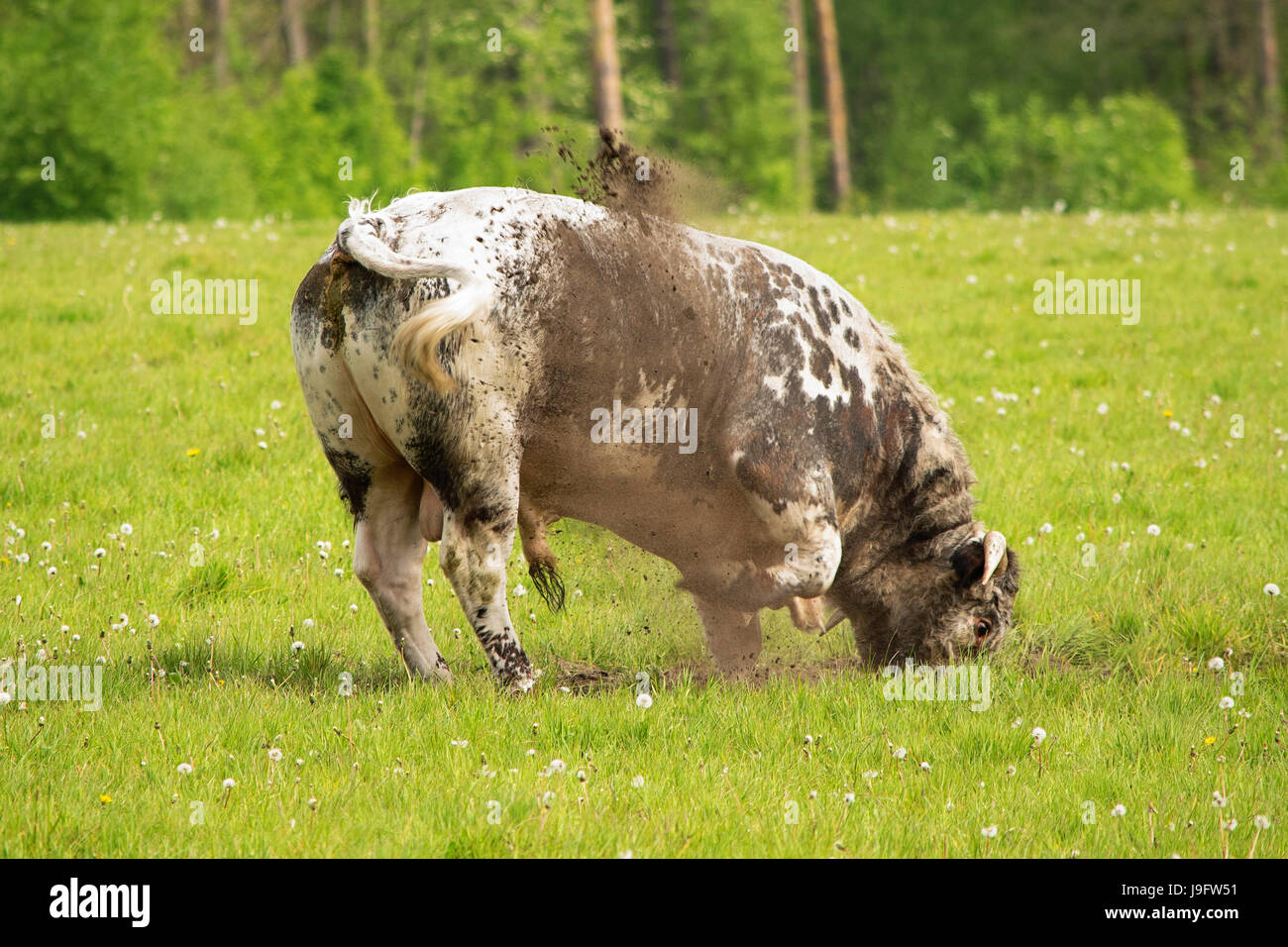Happy bull digging in the dirt Stock Photo