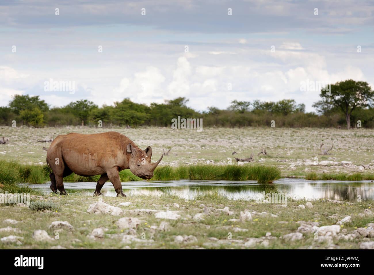 Rhino standing by a water hole, Etosha NP, Namibia. - Stock Image