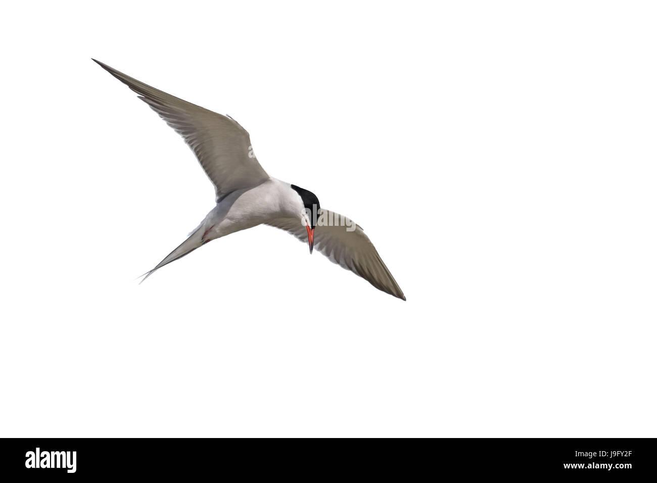 An adult, summer plumage, Common Tern, Sterna hirundo, seabird, in flight. - Stock Image