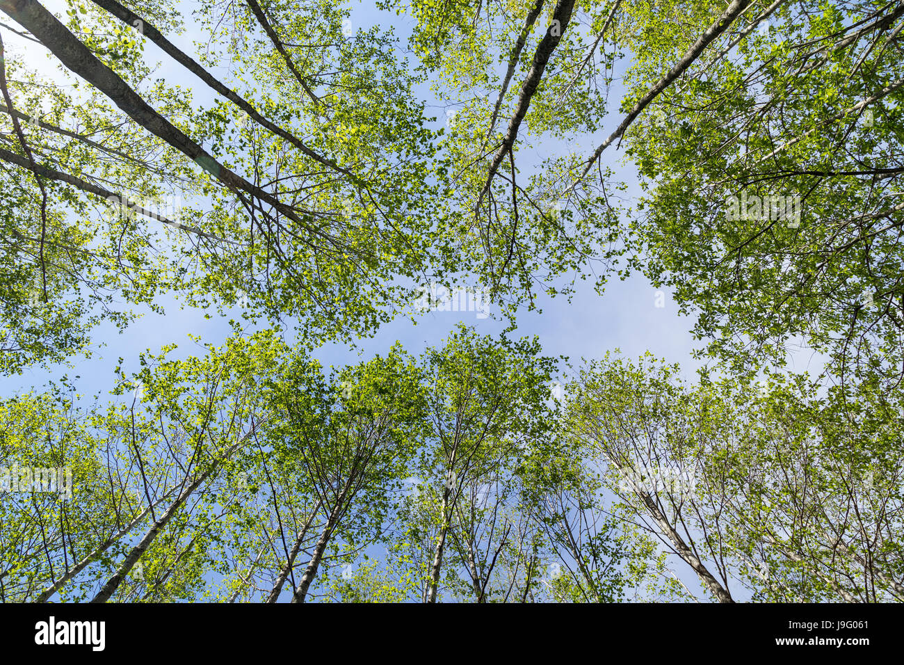 Verdant trees in a forest viewed from below in the summer. - Stock Image