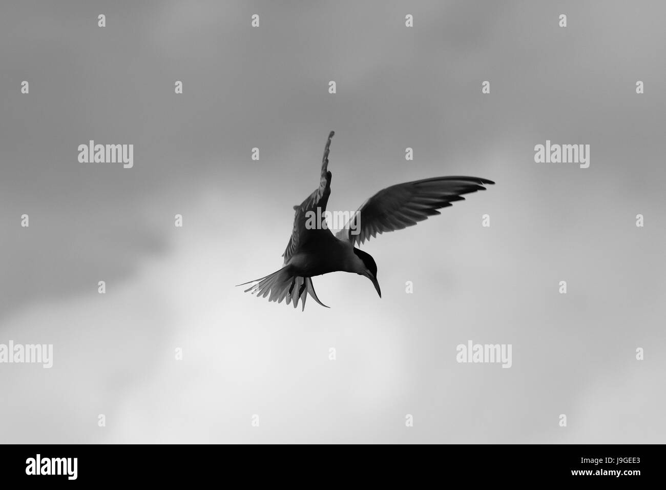 Common tern diving and emerging from the lake in search of fish food - Stock Image