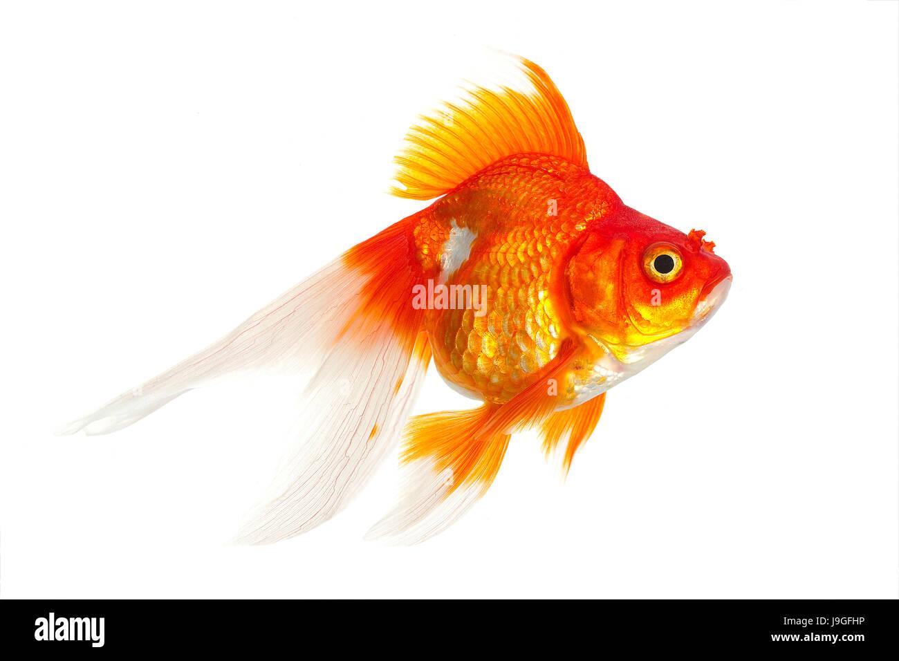 Ryukin Goldfish, carassius auratus, Adult Against White Background Stock Photo