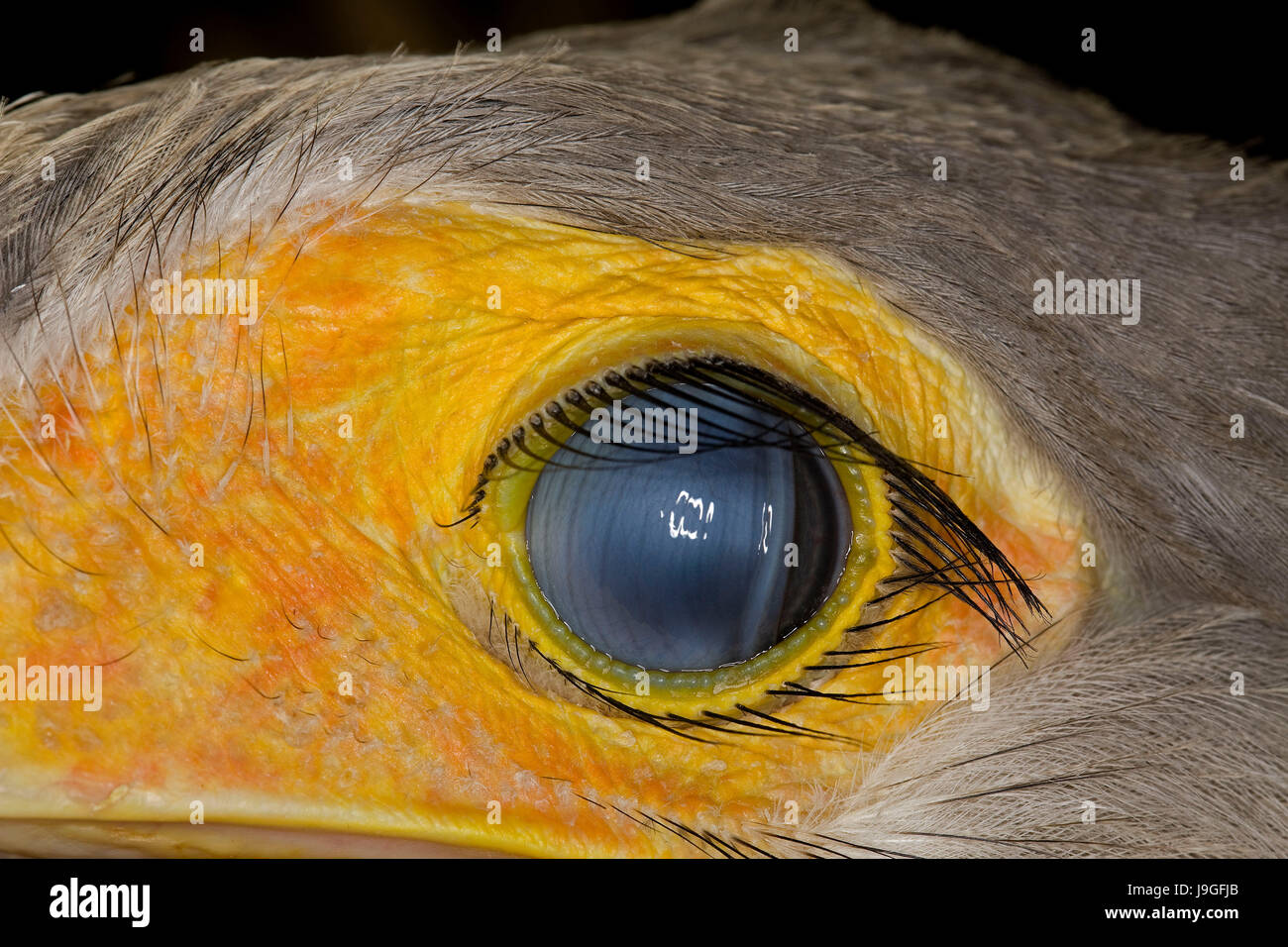 Secretary Bird, sagittarius serpentarius, Close Up of Eye Stock Photo