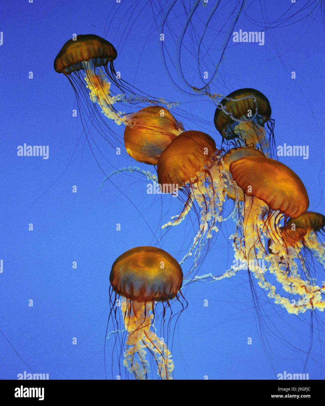 Purple-Stripped Jellyfish, pelagia noctiluca - Stock Image