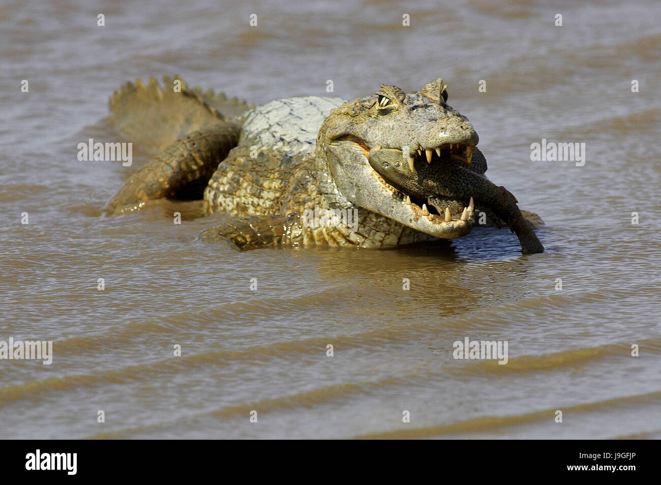 Spectacled Caiman, caiman crocodilus, Catching Fish in River, Los Lianos in Venezuela - Stock Image