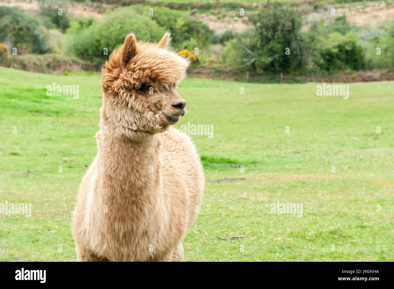 Alpaca Lama Pacos Vicugna Pacos in a field with copy space. - Stock Image