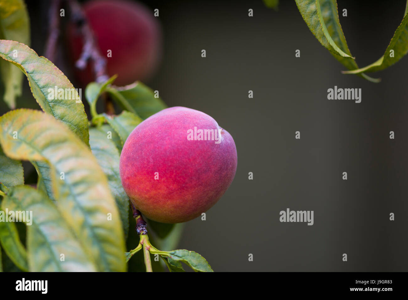 Peaches in a peach tree with very shallow focus on the primary piece of fruit. - Stock Image