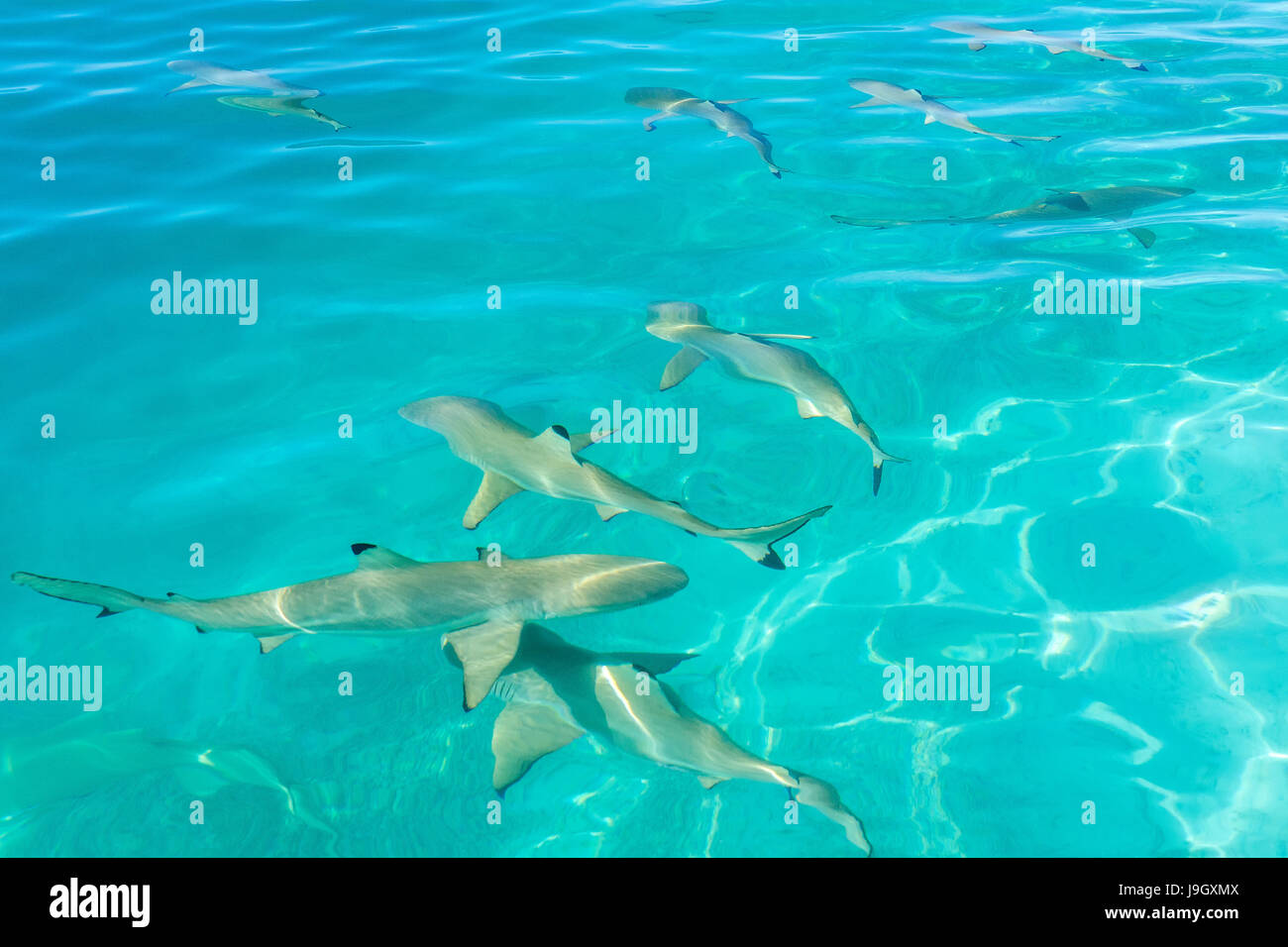 Blacktip reef sharks in Moorea, French Polynesia - Stock Image