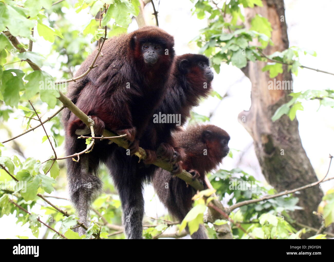 Family of South American Coppery or copper coloured Titi Monkeys (Callicebus cupreus) in a tree. Stock Photo