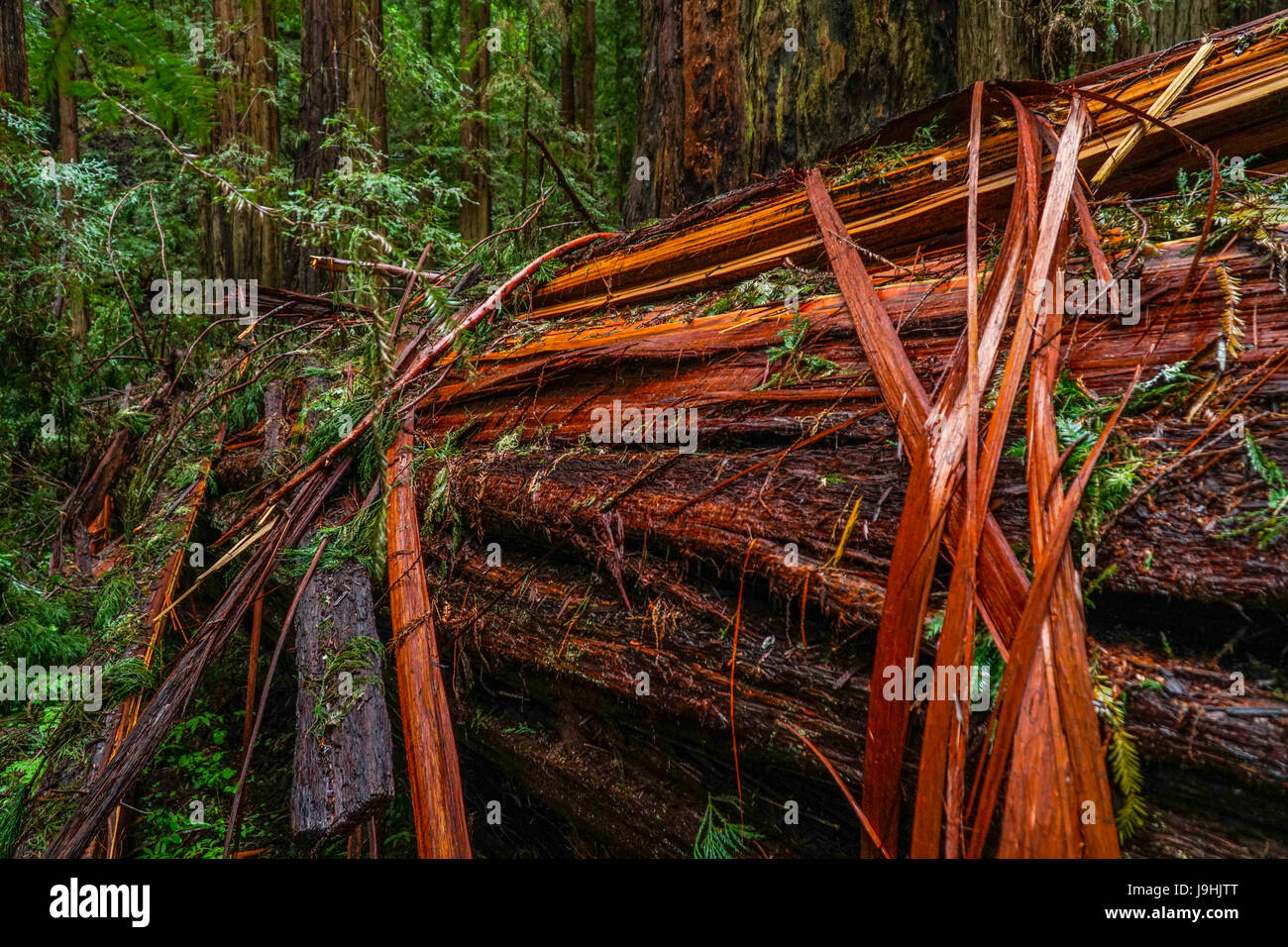 The Giant red Cedar trees at Redwoods National Park - Stock Image