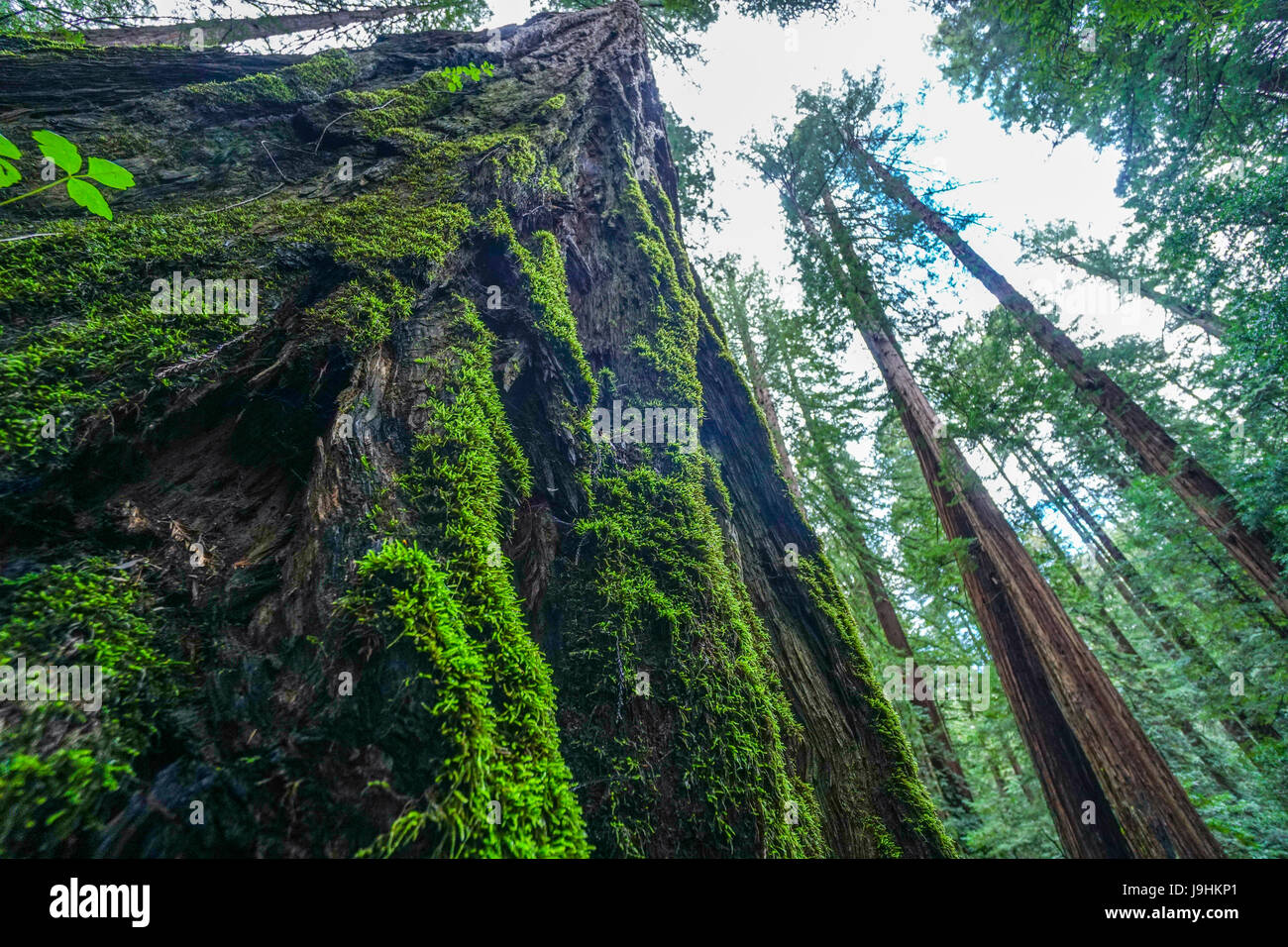 Giant Redwood Trees in the Redwoods National Park - Stock Image