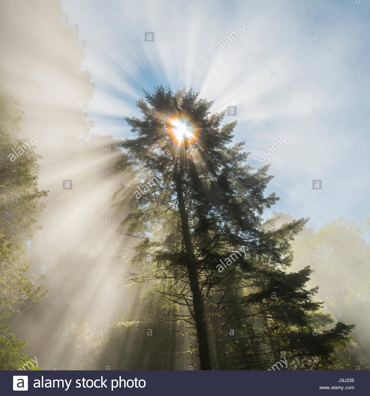Sun shines through the fog surrounding a redwood tree. - Stock Image